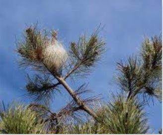 FGDON Campagne  de traitement des chenilles processionnaires du pin